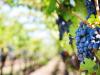 Investir dans la vigne sans l'exploiter : la solution du GVF ! Quels risques ?
